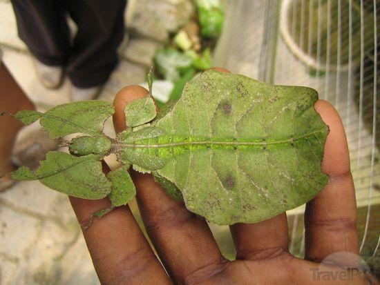 An Insect That Looks Like A Leaf Cameron Highlands
